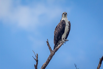 Osprey on Sentry Duty