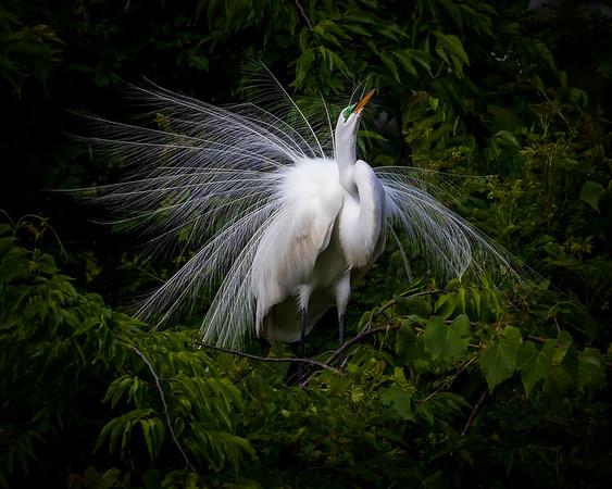 Great Egret Doing Mating Dance
