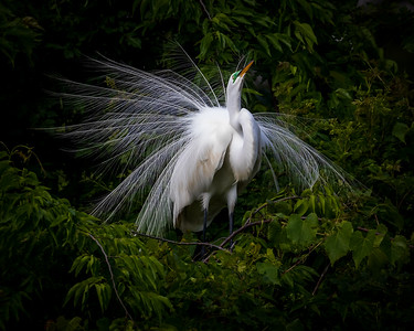 Great Egret Doing Mating Dance