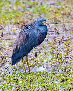 Tri-color heron