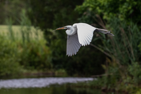 Great Egret with Branch