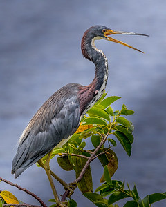 Talking Tri-Color Heron