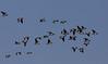 Branta leucopsis, Barnacle Goose, Bramgås