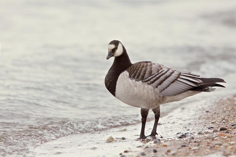 Barnacle goose, Bramgås, Branta leucopsis, Asserbo, Danmark, Oct-2013