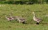 Greylag goose, Grågås, Anser anser