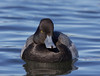 Lille Bjergand, Lesser Scaup, Aythya affinis