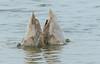 Mute swan, Knopsvane, Cygnus olor, Juvenile