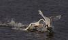 Mute swan and Whooper swan, Sangsvane og Knopsvane
