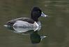 Ring-necked duck, Halsbåndstroldand, Aythya collaris