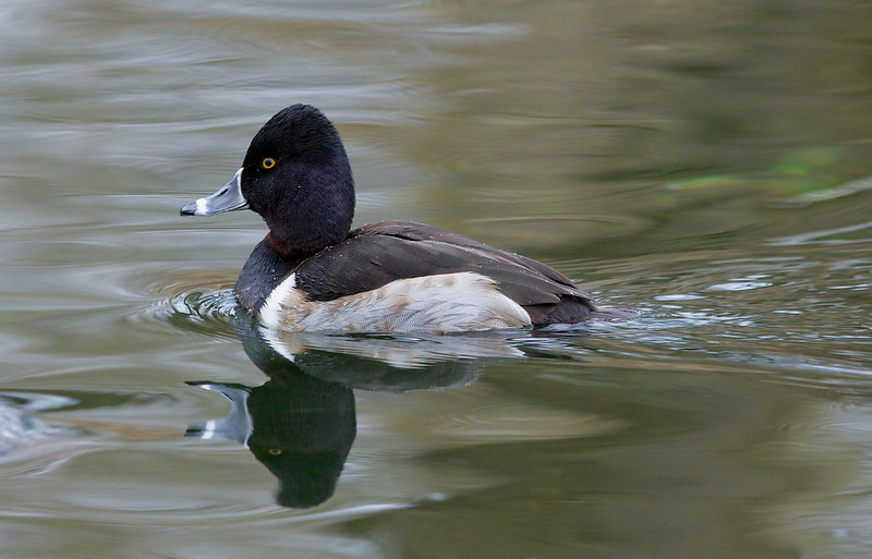 Ring-necked duck, Halsbåndstroldand, Aythya collaris, Virum, Danmark, Feb-2013
