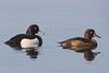 Tufted Duck, Troldand, Aythya fuligula, Vaserne, Danmark, Apr-2014