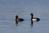 Tufted Duck, Troldand, Vaserne, Danmark, Apr-2013