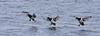 Troldand, Tufted Duck, Aythya fuligula