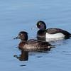 Tufted Duck, Troldand, Aythya fuligula, Vaserne, Holte, Danmark, Apr-2017