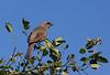 Bay-winged cowbird, Tordo músico, Molothrus bonariensis, Carmelo, Uruguay, Dec-2012