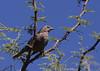Shiney cowbird, Tordo común, Molothrus badius, Female, Carmelo, Uruguay, Dec-2012