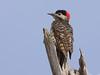 Green-barred woodpecker, Carpintero nuca roja, Colaptes melanochloros