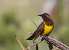 Brown-and-yellow Marshbird, Pecho amarillo, Pseudoleistes virescens