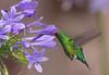 Glittering-bellied emerald, Picaflor verde, Chlorostilbon lucidus, Male, Carmelo, Uruguay, Dec-2012