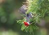 Red-crested cardinal, Cardenal de copete rojo, Paroaria coronate