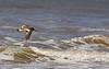 American oystercatcher, Ostrero común, Haematopus palliatus, Aguas Dulces, Uruguay, Dec-2012
