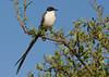 Fork-tailed flycatcher, Tijereta, Tyrannus savana, Carmelo, Uruguay, Dec-2012