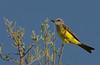 Tropical kingbird, Benteveo real, Tyrannus melancholicus, Carmelo, Uruguay, Dec-2012