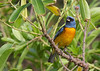 Blue and yellow tanager; Naranhero; Pipraeidea bonariensis