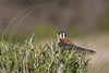 American kestrel, Halconcito común, Falco sparverius