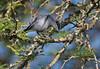 Masked gnatcatcher, Azulito, Polioptila dumicola, Male, Carmelo, Uruguay, Dec-2012