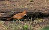 Brown cacholote, Caserote, Pseudoseisura lophotes, Carmelo, Uruguay, Dec-2012