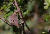 Eared dove, Torcaza común, Zenaida auriculata, Carmelo, Uruguay, Dec-2012