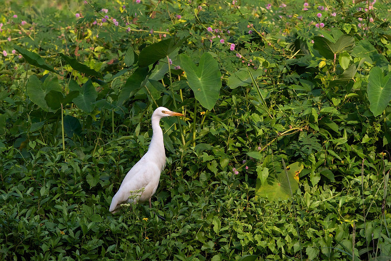 Cattle egret, Kohejre, Backwaters, Kerala, India, Dec-2008