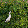 Cattle egret, Kohejre, Backwaters, Kerala, India, Dec-2008