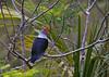 Seychelles blue pigeon, Alectroenas pulcherrima, Vallée de Mai, Praslin, Seychelles, Feb-2011