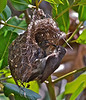 Seychelles sunbird, Nectarinia dussumieri. Female at nest. La Digue Feb-2011