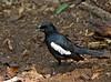 Seychelles magpie-robin, Copsychus seclellarum, Cousin island, Seychelles, Feb-2011