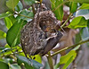 Seychelles sunbird, Nectarinia dussumieri. Female at nest. La Digue Feb-2011