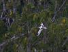White-tailed tropicbird, Phaethon lepturus, Cousin island, Seychelles, Feb-2011