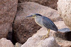 Green-backed heron, Butorides striatus, Adult, La Digue, Seychelles, Feb-2014