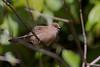 Common waxbill, Estrilda astrild, Juvenile, La Digue, Seychelles, Feb-2014