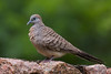 Barred ground dove, Geopelia striata, La Digue, Seychelles, Feb-2014