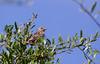 Grassland Sparrow, Græsspurv