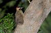 Greenbarred Woodpecker, Hjerteplettet Guldspætte