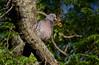 Spot-winged Pigeon, Pletvinget Due
