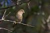 Doublecollared Seedeater, Pragtklerkefinke, Female