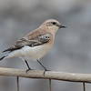 Black-eared wheatear, Oenanthe hispanica, Avlona, Sept-2016
