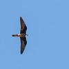 Eleanora's falcon, Falco eleonorae