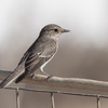Spotted flycatcher, Muscicapa striata, Avlona, Sept 2016