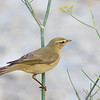 Willow warbler, Phylloscopus trochilus, Diafani, Sept 2016